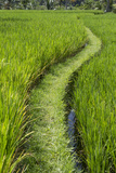 Bali, Indonesia. Path Through a Rice Paddy, South Central Bali Photographic Print by Charles Cecil