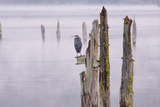 Canada, B.C, Vancouver Island. Great Blue Heron on an Old Piling Photographic Print by Kevin Oke