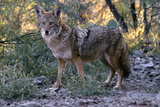Coyote with Winter Coat in Sonoran Desert. Tucson, Arizona Photographic Print by Thomas Wiewandt