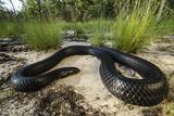 Captive Eastern Indigo Snake. the Orianne Society, Telfair, Georgia Photographic Print by Pete Oxford