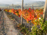 Europe, Italy, Tuscany. Autumn Vineyards in Bright Colors Photographic Print by Julie Eggers