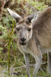 Australia, Perth, Yanchep National Park. Western Gray Kangaroo Close Up of Face Photographic Print by Cindy Miller Hopkins