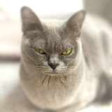Close Up of a Blue American Burmese Cat Photographic Print by Rona Schwarz
