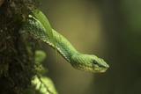 Captive Eyelash Viper, Bothriechis Schlegelii, Coastal Ecuador Photographic Print by Pete Oxford