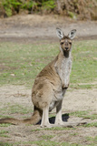 Australia, Perth, Yanchep National Park. Western Gray Kangaroo Photographic Print by Cindy Miller Hopkins
