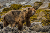 Alaska, Glacier Bay National Park. Brown Bear on Beach Photographic Print by Jaynes Gallery