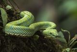 Captive Eyelash Viper, Bothriechis Schlegelii, Coastal Ecuador Fotodruck von Pete Oxford