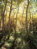 California, Sierra Nevada, Inyo Nf, Autumn Aspen Forest Photographic Print by Christopher Talbot Frank