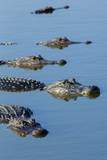 American Alligators at Deep Hole in the Myakka River, Florida Photographic Print by Maresa Pryor
