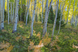 Colorado. Scenic of Aspen Forest Photographic Print by Jaynes Gallery
