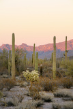 Arizona, Organ Pipe Cactus Nm. Saguaro Cactus and Chain Fruit Cholla Photographic Print by Kevin Oke