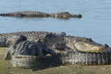American Alligators Sunning, Myakka River, Myakka River Sp, Florida Photographic Print by Maresa Pryor
