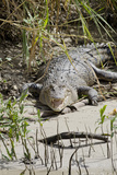 Australia, Queensland, Daintree. Dsaltwater Crocodile Photographic Print by Cindy Miller Hopkins