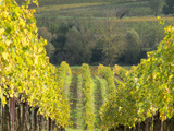 Europe, Italy, Tuscany. Rolling Hills of Vineyard in Autumn Colors Photographic Print by Julie Eggers