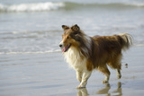 Canada, B.C, Vancouver Island. Sheltie Walking on Chesterman Beach Photographic Print by Kevin Oke