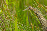 Elusive American Bittern Stalking Prey, Everglades National Park, Florida Photographic Print by Maresa Pryor