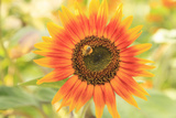 Bumblebee on Sunflower, Community Garden Project, Washington Photographic Print by Stuart Westmorland