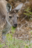 Australia, Perth, Yanchep National Park. Western Gray Kangaroo Close Up Eating Photographic Print by Cindy Miller Hopkins