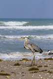 Cameron County, Texas. Great Blue Heron, Ardea Herodias, Feeding Photographic Print by Larry Ditto