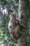 Mother Rhesus Macaque and Baby Wulingyuan District, China Photographic Print by Darrell Gulin