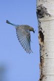 Mountain Bluebird Returning to Nest Cavity with Food Photographic Print by Ken Archer