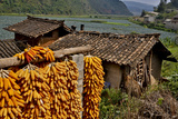 Harvested Corn Hanging to Cure Near Tangjiawan, Kunming Area of China Photographic Print by Darrell Gulin