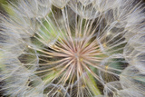 Goatsbeard Seeds in Summer in Whitefish, Montana, USA Photographic Print by Chuck Haney