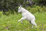 Mountain Goat Kid Kicks Up His Heels in Glacier National Park, Montana, USA Photographic Print by Chuck Haney