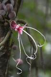 Ecuador, Orellana, Napo River. Wild Cocoa Plant, Herrania Tree Photographic Print by Kevin Oke
