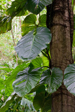 Heart Leaved Philodendron, Philodendron Hederaceum, Costa Rica Photographic Print by Susan Degginger