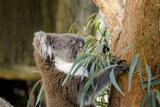 Australia, South Australia, Adelaide. Cleland Wildlife Park. Koala Photographic Print by Cindy Miller Hopkins