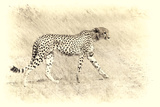 Cheetah, Artistic Version, Walking in Grassland Botswana, Africa Photographic Print by Sheila Haddad