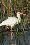 White Ibis in the Soft Stemmed Bulrush, Viera Wetlands, Florida Photographic Print by Maresa Pryor