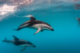 Pod of Dusky Dolphins Off of Kaikoura, New Zealand Photographic Print by James White