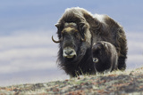 Musk Ox with Calf Photographic Print by Ken Archer