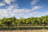 Australia, Barossa Valley, Rowland Flat, Jacobs Creek Winery, Vineyard Photographic Print by Walter Bibikow