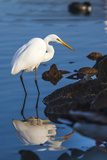 Lake Murray. San Diego, California. a Great Egret Prowling the Shore Photographic Print by Michael Qualls