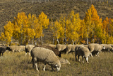 Trailing of the Sheep Festival, Autumn, Ketchum, Idaho, USA Photographic Print by Michel Hersen