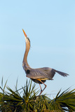Great Blue Heron on Nest Displaying, Viera Wetlands, Florida Photographic Print by Maresa Pryor