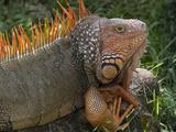 Green Iguana, Zoo Ave Wildlife Park, La Garita De Alajuela, Costa Rica Reproduction photographique par Thomas Wiewandt