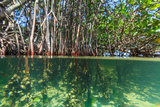James White - Over and under Shot of Mangrove Roots in Tampa Bay, Florida Fotografická reprodukce