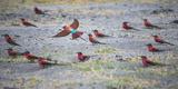 Flock of Carmine Bee Eater Birds on Ground Nesting, Botswana, Africa Fotografisk tryk af Sheila Haddad