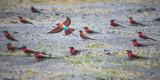 Flock of Carmine Bee Eater Birds on Ground Nesting, Botswana, Africa Photographic Print by Sheila Haddad
