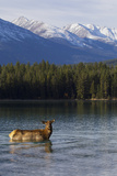 Cow Elk in a Mountain Lake Photographic Print by Ken Archer