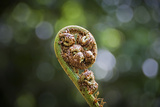 Australia, World Heritage Blue Mountains National Park, Tree Fern Fiddlehead Photographic Print by Rona Schwarz