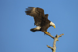 Bald Eagle, Haliaeetus Leucocephalus, Landing on Stag, Sw Florida Photographic Print by Maresa Pryor