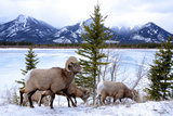 Bighorn Sheep Against Athabasca River, Jasper National Park, Alberta, Canada Photographic Print by Richard Wright