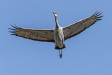 Close Up of a Sandhill Crane in Flight Photographic Print by Rona Schwarz