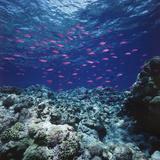 Australia, Yellowstriped Anthias Schooling in Great Barrier Reef Reprodukcja zdjęcia autor Stuart Westmorland