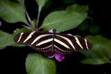 Zebra Longwing Butterfly, La Finca De Mariposas, Alajuela, Costa Rica Photographic Print by Thomas Wiewandt